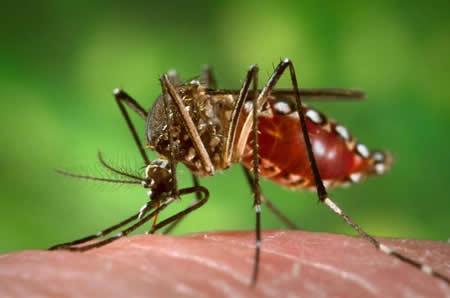Mosquito Aedes Aegypti, agente trasmisor del parásito que causa el dengue, la fiebre amarilla y la malaria - Imagen de la Wikipedia
