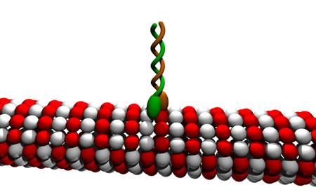 Kinesina adherida a un microtúbulo - Imagen de la Wikipedia
