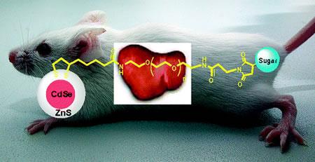 Ratón de laboratorio que fue testeado con nanocristales recubiertos con D-manosa, D-galactosa y D-galactosamina - Imagen de la American Chemical Society