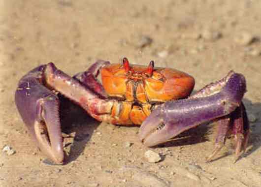 Los cangrejos han inspirado un nuevo robot